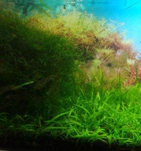 Эхинодорус нежный мох Стринг и яванский