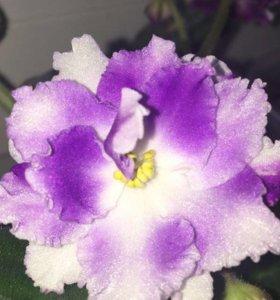 Фиалки.Комнатные цветы