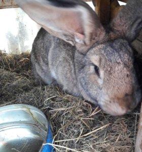 Кролики немецкой породы( ризлинг)
