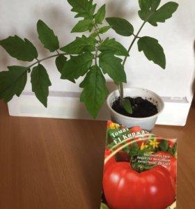 Рассада томатов разных сортов