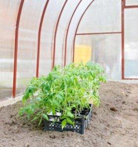 Рассада томатов и перцев
