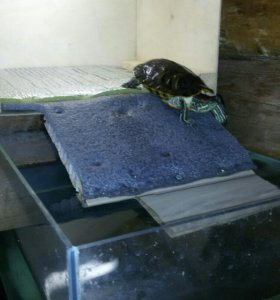 Красноухая черепашка с аквариумом