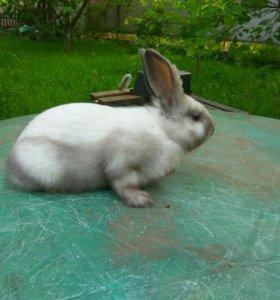 Кролики окрас саландер