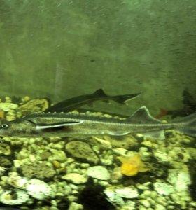 Стерлядь аквариумная
