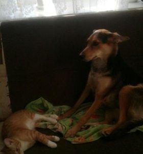 Отдам : стерилизованную ,послушную , умную собаку