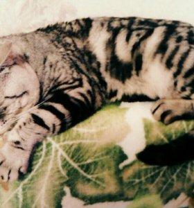 Шотландский кот для вязки.