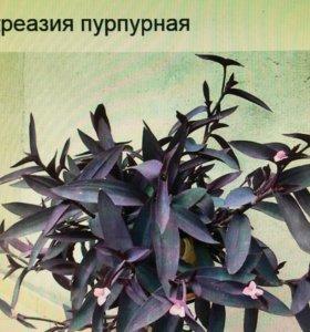 Традесканция фиолетовая комнатный цветок