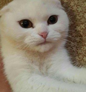 Кошка вислоушка