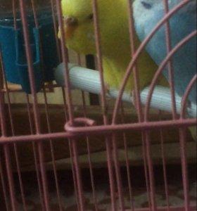 Продам попугаев с клеткой волнистые