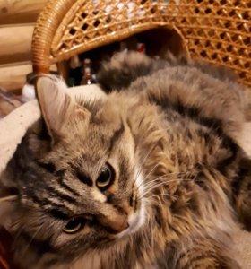 Вязка ищем котика для курильского бобтейла девочки