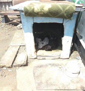 Продам щенков дратхара