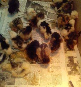 Цыплята, порода Пушкинская
