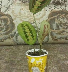 Комнатные растения Маранта
