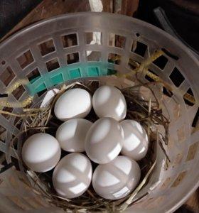 Яйцо куриное на инкубацию