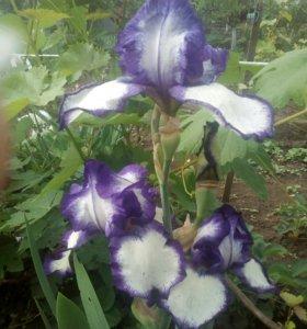 Цветы. Ирисы