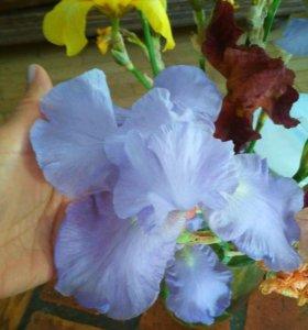 Ирис голубой с нежнейшим ароматом