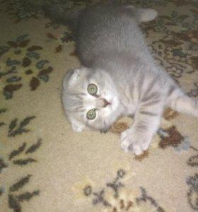 Котёнок вислоухий шотландец