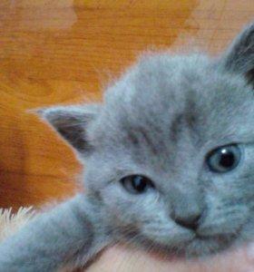Британский котёнок, девочка