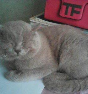 Вязка, британский кот.