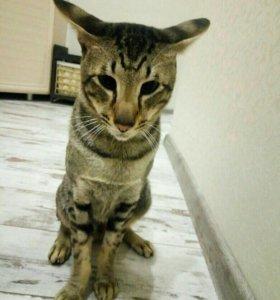 Вязка, кот ориентальный