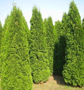Туя Самарагд. Растения оптом. Озеленение