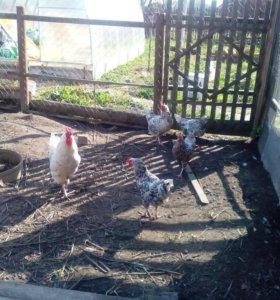 Цыплята, инкубационное яйцо породы Пушкинская