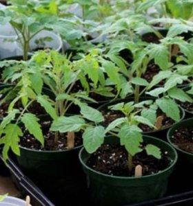 Рассада  томаты  ,перец ,баклажаны