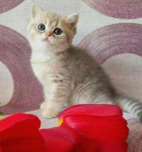 Кошечка голубое золото