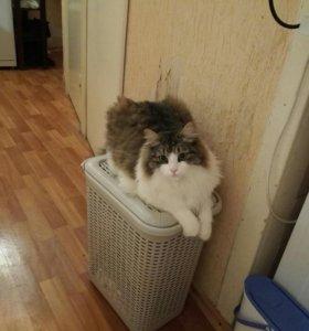 Отдам в добрые руки сибирского котёнка