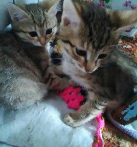 Породистые котята бобтейлы,мальчик и девочка