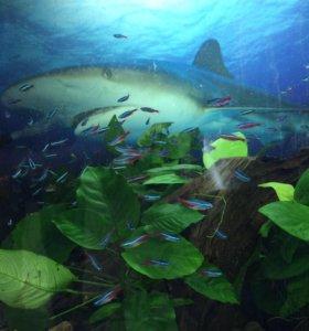 Аквариумные Рыбки: Астронотусы, Северумы краснот.