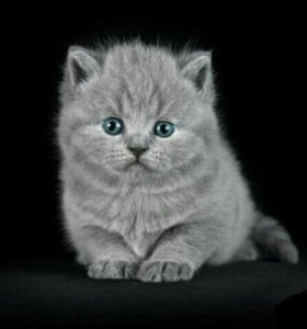 Британские котята