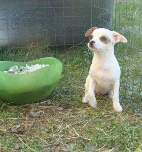 Классные щенчики Перуанской голой собаки