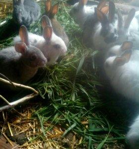 Кролики 2-2,5мес