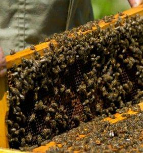 Пчелопакет семьи