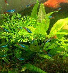 Аквариумные рыбки. Неон голубой, данио. Распродажа