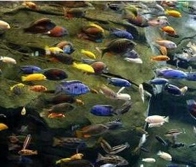 Разноцветные рыбки.Цихлиды
