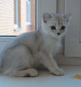 Британские котята серебро