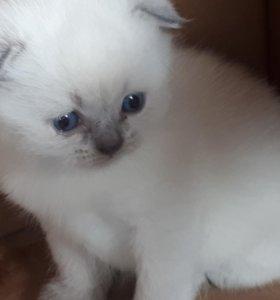 Вислоухие котята блюпоинт