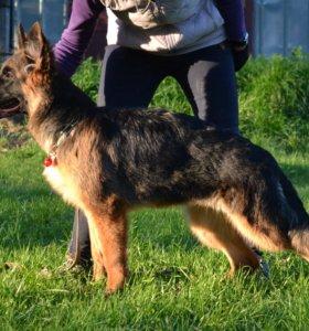 немецкой овчарки щенки длинношерстные