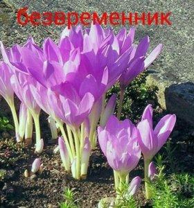 """Многолетние цветы """"Безвременник"""""""