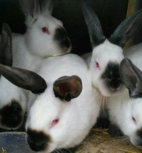 Продам кроликов Калифорния