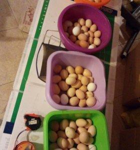 Яйца куриные оплодотворенные