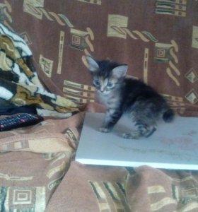 Котята бобтейла