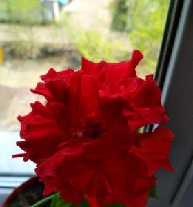 Росток китайской розы