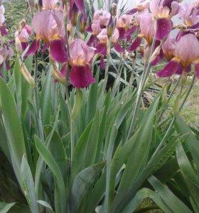 Цветы Ирис