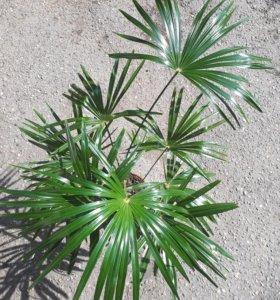 Финиковая пальма!!!!!