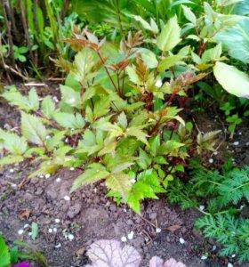 Растения, цветы многолетники