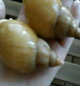 Улитка родация альбино боди