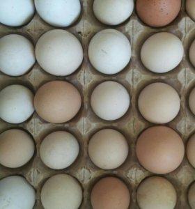 Яйцо домашних кур